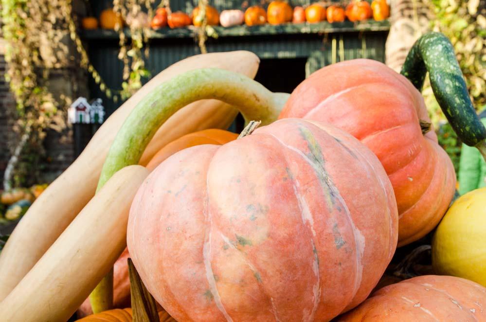 Hof Ligges aus Kamen präsentiert verschiedene Kürbisse zu Halloween Zeit